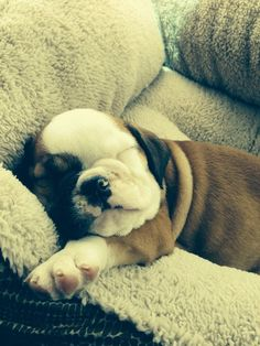 And this wrinkly snuggler who hasn't grown into his dog bed yet. | 42 Of The Most Important Puppies Of All Time
