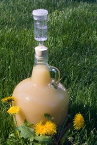 Dealing with dandelions- drink them! A recipe for dandelion wine - good tonic apparently