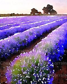 Fields of Lavender:  A Provence France Watercolor Fine Art Print, Home Decor for the French Cottage Style Home