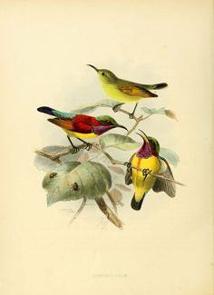 https://flic.kr/p/aNi5zc | n331_w1150 | A monograph of the Nectariniidae, or, Family of sun-birds London :Published by the author,1876-1880. biodiversitylibrary.org/page/36894379