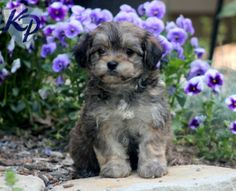 Keystone Puppies has a puppy finder feature setting you up to find and buy a dog perfect for your home. Havanese Puppies For Sale, Havanese Dogs, Cute Puppies, Dogs And Puppies, Rescue Dogs, Pet Dogs, Pets, Puppy Finder, Buy A Dog
