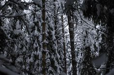 Snowy spruces