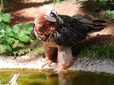 Bearded Vulture. Whats there.. by Little-Dragon-Wolf.deviantart.com on @DeviantArt