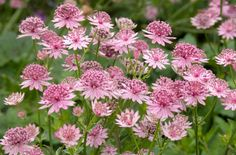 Astrantia 'Roma' AGM, soft delicate pink, long flowering 0.5m x 0/5m