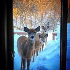 A wild group of deer wanting to come in Baby Animals, Funny Animals, Cute Animals, Beautiful Creatures, Animals Beautiful, Tier Fotos, All Gods Creatures, Jolie Photo, Animal Kingdom