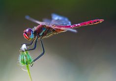 red dragonfly by sh0ggy on Deviant art. He's done some beautiful wildlife stuff