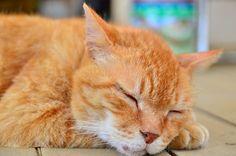 畑の小屋に住んでる虎猫♂ / Japanese Tabby Cat ♂
