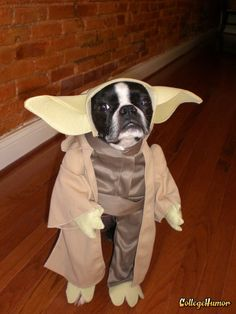 Wise being, Yodog is.. Wise being, Yodog is.. dog, star wars, costume, yoda, Animals, dogs, boston terriers, Pop Culture, Nerdy