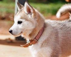 #Siberian #Husky puppy