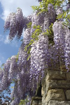 While growing wisteria is easy, you should take caution with it, as it can quickly overtake everything without proper care. Tips for growing and caring for wisteria vines. Magic Garden, Dream Garden, Pergola Shade, Pergola Patio, Pergola Kits, Cheap Pergola, Pergola Ideas, Kew Gardens, Outdoor Gardens