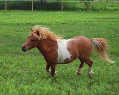 My little Flynn, Mini Horse- He has such a pretty arabian head!