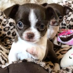 7321 Best Chihuahua images in 2019   Cute baby dogs
