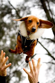 Doxie in a bomber coat: adorable!