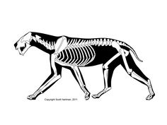Smilodon/ˈsmaɪlədɒn/is anextinctgenusofmachairodontfelid. It is perhaps the best knownsaber-toothed catand lived in theAmericasduring thePleistoceneepoch (2.5mya–10,000 years ago). One of the largest collections of its fossils has been obtained from theLa Brea Tar Pits. Three species of the genus are known; they vary in size and build.