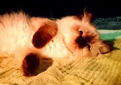 Yuki ragdoll cat