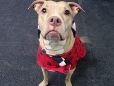 TO BE DESTROYED 12/03/14 Manhattan Center -P  My name is SIAH. My Animal ID # is A1021716. I am a spayed female br brindle and white am pit bull ter mix. The shelter thinks I am about 8 YEARS old.  I came in the shelter as a OWNER SUR on 11/26/2014 from NY 10474, owner surrender reason stated was MOVE2PRIVA.