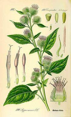 plus de 1000 id es propos de les plantes qui soignent sur pinterest alto ficus et conservation. Black Bedroom Furniture Sets. Home Design Ideas