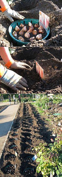 ПОСАДКА ТЮЛЬПАНОВ | сад-огород | Постила