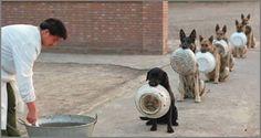 Küçük bir gülümseme için …. Çin'de polis köpekleri yemek için sıra bekliyor * Kuyruklarda bekleme kültürü olmayanlara ithaf olunur