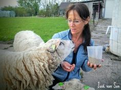 Country Life; taking care of the sheep, Zeewolde-Flevopolder,  the Netherlands