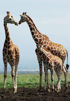 Giraffe Family Photograph