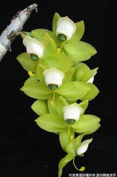 Cycnoches warscewiczii - Female Flowers
