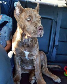 Are we there yet?! #presacanariosofinstagram #puppiesofig #presacanarios #puppylove #puppyspam #dogocanario #dogs #pets_of_instagram #puppiesofig #mastiffgram #Bestbreed