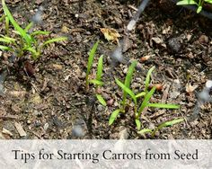 Good info! - Tips for Starting Carrots from Seed | Untrained Housewife