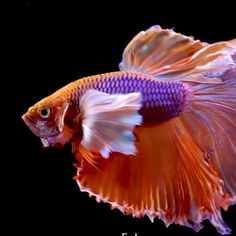 Koi Fish Discover Go fishing Amazing Betta. Tropical Fish Aquarium, Freshwater Aquarium Fish, Live Aquarium Fish, Tropical Freshwater Fish, Pretty Fish, Beautiful Fish, Beautiful Pictures, Beautiful Sea Creatures, Animals Beautiful