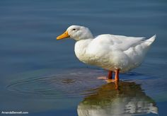Cute white Pekin Duck