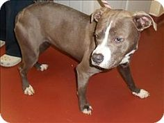 Salisbury, MD - Pit Bull Terrier Mix. Meet Stuffings, a dog for adoption. http://www.adoptapet.com/pet/11945540-salisbury-maryland-pit-bull-terrier-mix