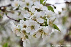 Versoja Vaahteramäeltä:  kärperön kirsikka Prunus cerasus さくら 桜 White Flowers, Plants, Planters, Plant, Planting