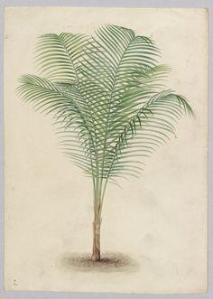 Verzeichnis und einige Abbildungen der Herrenhäuser Palmensammlung, 1851.
