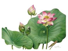 Botanical Drawings | Exhibition of Botanical Art @ The MPRG | Arts & Culture across the ...