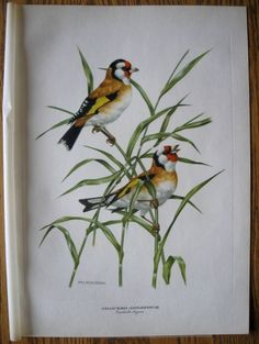 Birds: GOLDFINCH By Axel Amuchastegui Large Lithograph