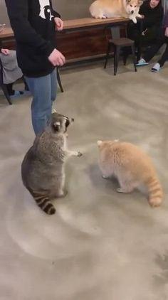 Funny Animal Jokes, Funny Animal Videos, Cute Funny Animals, Funny Cute, Cute Cats, Sapo Meme, Pet Raccoon, Cute Animal Pictures, Funny Pictures
