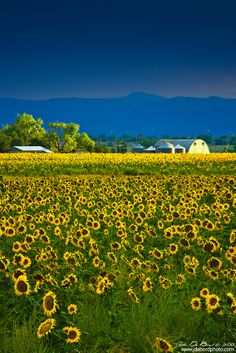 Sunflower Farm, Colorado