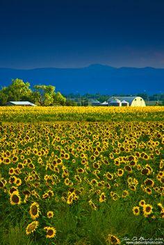 Sunflower Farm, Colorado