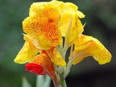 Hasil gambar untuk bunga kanna