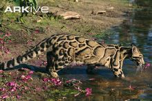 Clouded leopard entering water