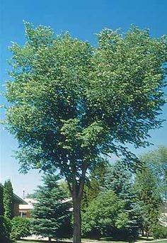 Have you experience allergy symptoms this spring? It may be from local elm trees!
