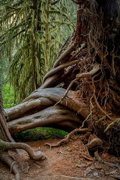 Hoh Rainforest - The Hoh Rainforest is located on the Olympic Peninsula in western Washington State, USA. It is one of the largest temperate rainforests in the U.S. Within Olympic National Park, the forest is protected from commercial exploitation