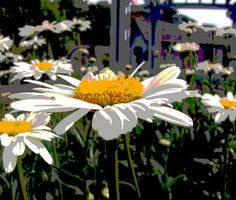 enhanced digital image daisies