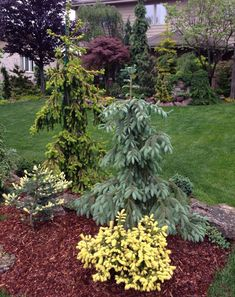 Picea pungens 'Spring Blast', Picea abies 'Gold Drift', Picea engelmannii 'Bush's Lace', Picea abies 'Perry's Gold'. from gardenweb