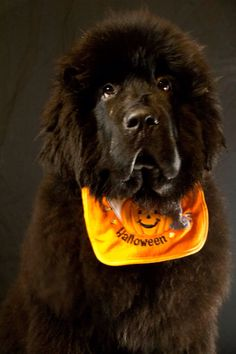 Meshack is ready for Halloween at Notta Bear Newfoundlands sporting his new dog bib - babies first halloween Newfoundland dog Newfie puppy Newfy Giant Dogs, Big Dogs, Cute Dogs, Dogs And Puppies, Large Dogs, Doggies, Cute Dog Halloween Costumes, Halloween Pics, Baby Animals