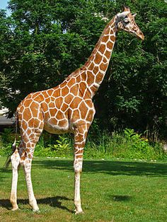 Giraffe's tail is long about meters. What is your favourite an… – Animals - special Giraffe Pictures, Wild Animals Pictures, Animal Pictures, Giraffe Images, Jungle Animals, Animals And Pets, Cute Animals, Le Zoo, Giraffes