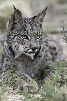Iberian lynx <3 -- The Iberian lynx, the world's most endangered cat, will probably go extinct in 50 years as a result of climate change, a new study in the journal Nature Climate Change reports.