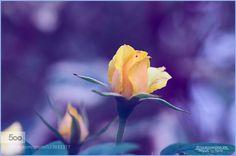 Yellow Dream by PeterWolfshfer