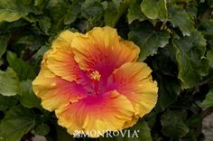 The Path Hibiscus - This handsome evergreen shrub displays large 7 inch flowers of buttercup yellow blending into a bright pink center. Large, heavy textured leaves add to its usefulness as a screen or background plant.