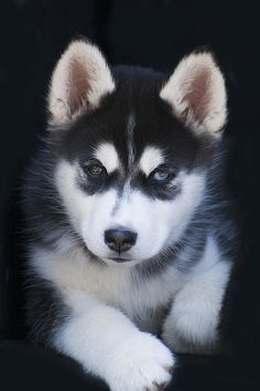 Adorable Siberian Husky Sled Dog Puppy. cute dogs, pets, animals. big dogs: cute & funny
